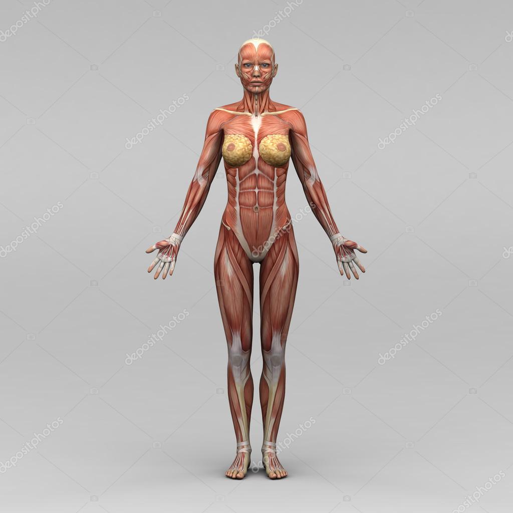 weibliche Anatomie und Muskeln — Stockfoto © newartgraphics #19873393