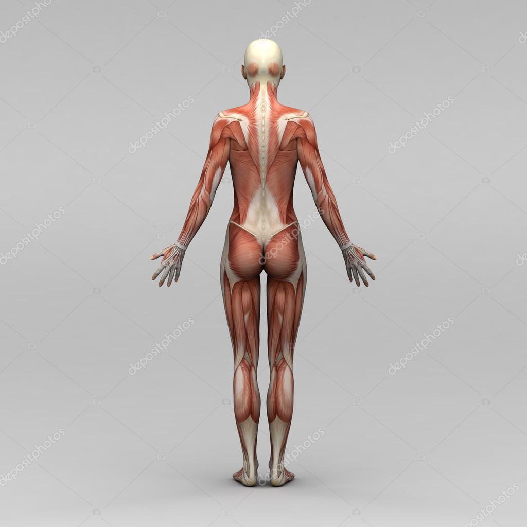 weibliche Anatomie und Muskeln — Stockfoto © newartgraphics #19873401