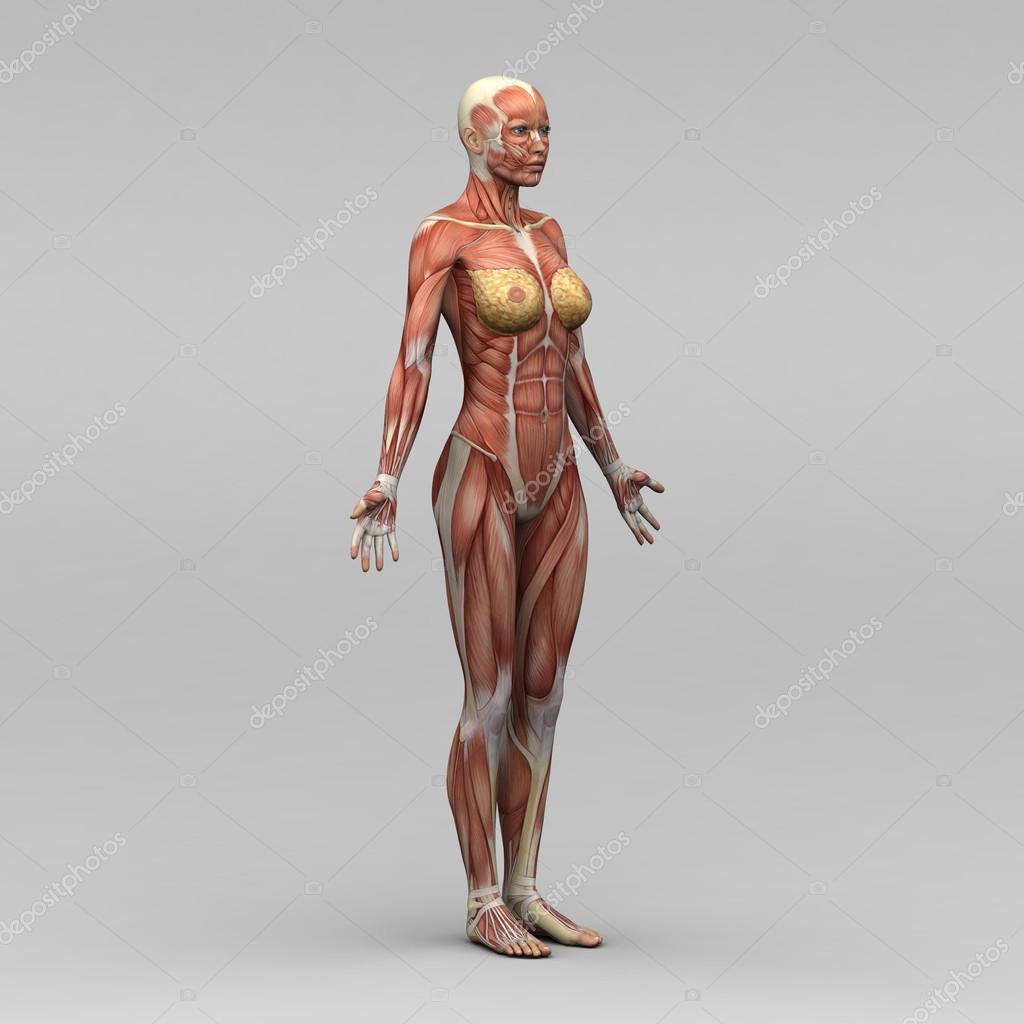 vrouwelijke anatomie en spieren — Stockfoto © newartgraphics #19873421