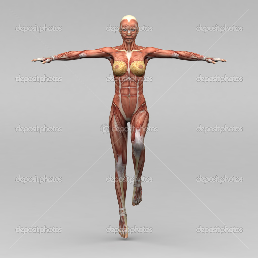 weibliche Anatomie und Muskeln — Stockfoto © newartgraphics #19873461