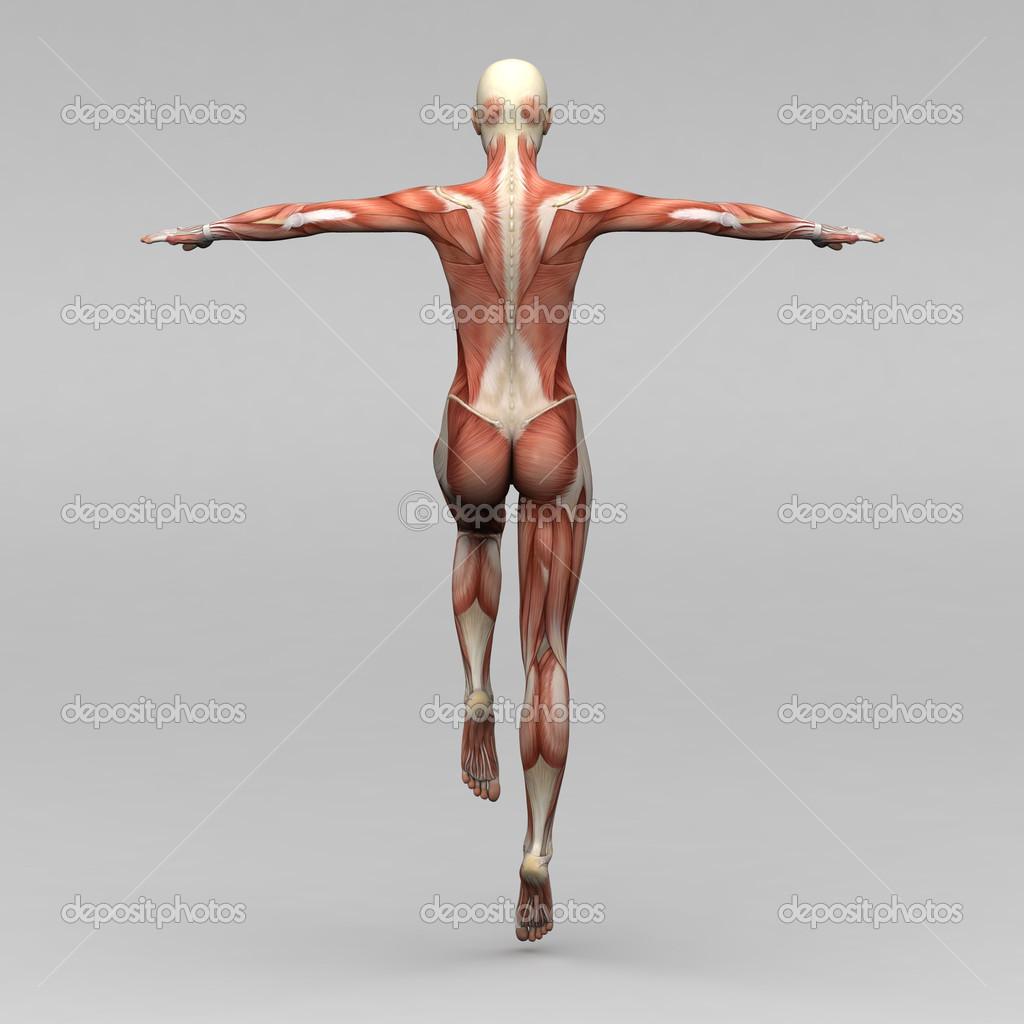 weibliche Anatomie und Muskeln — Stockfoto © newartgraphics #19873469