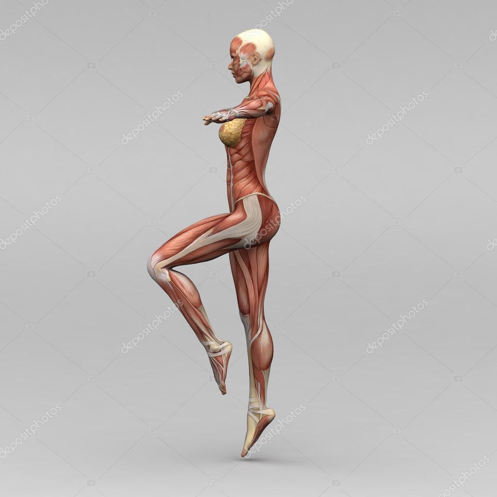 weibliche Anatomie und Muskeln — Stockfoto © newartgraphics #19873475