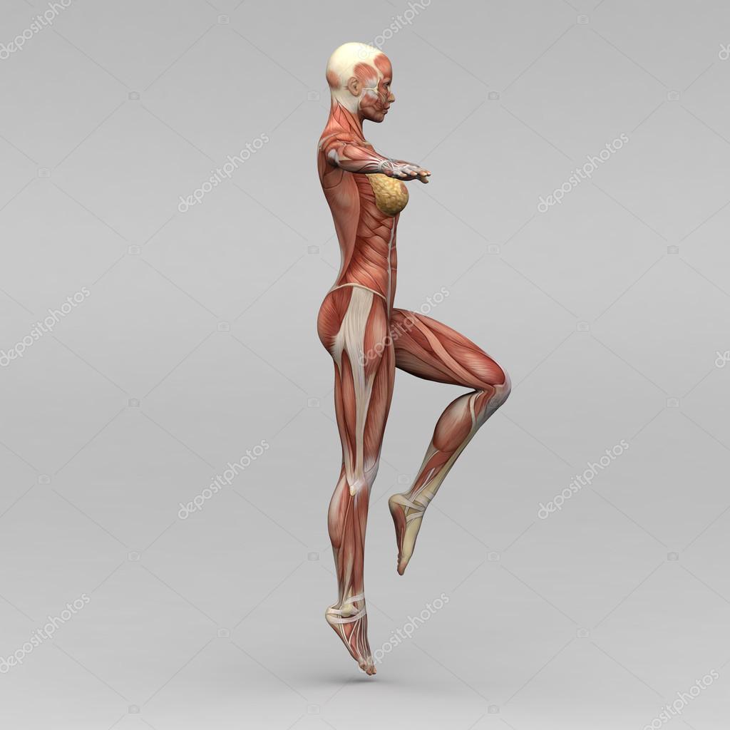 weibliche Anatomie und Muskeln — Stockfoto © newartgraphics #19873483