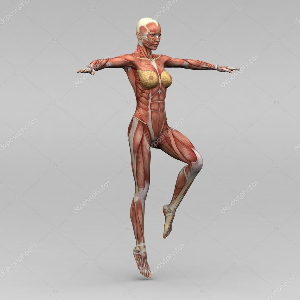Female human anatomy and muscles — Stock Photo © newartgraphics ...