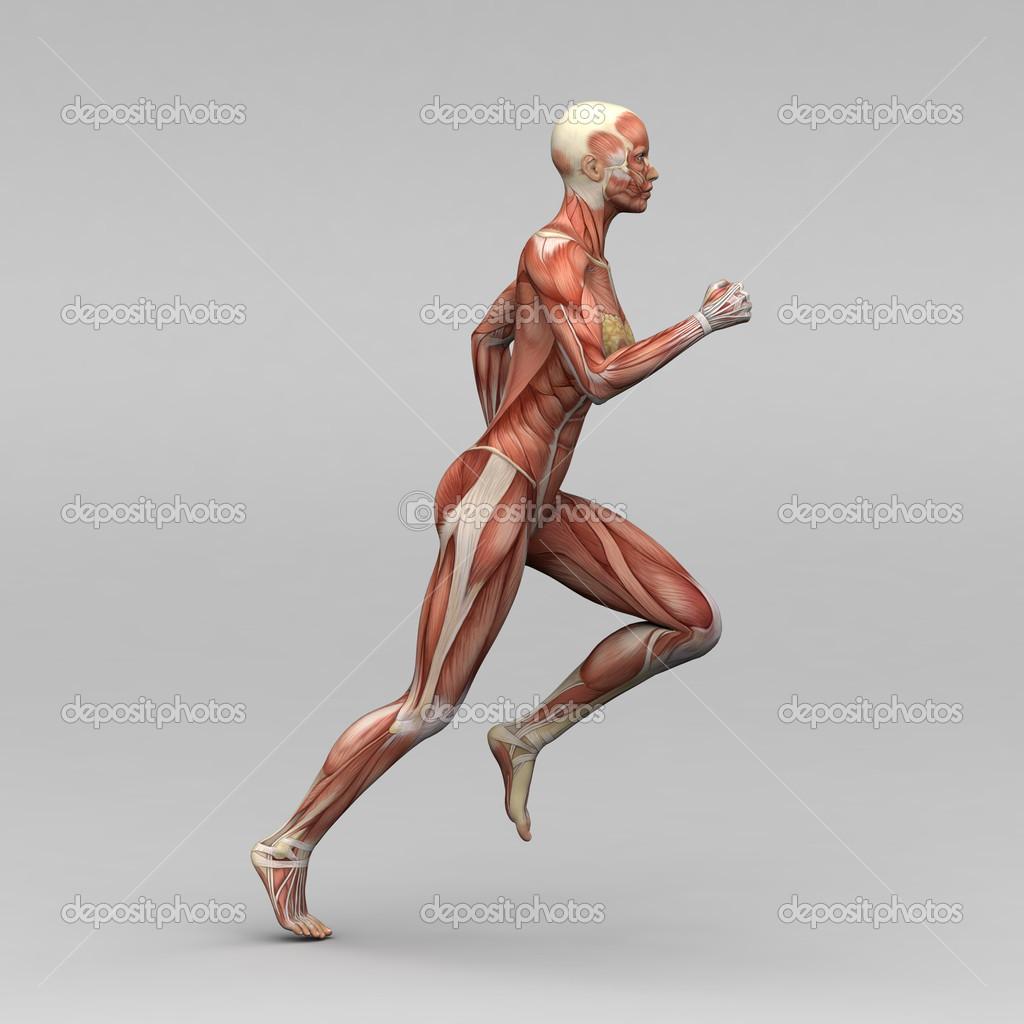 weibliche Anatomie und Muskeln — Stockfoto © newartgraphics #19873513