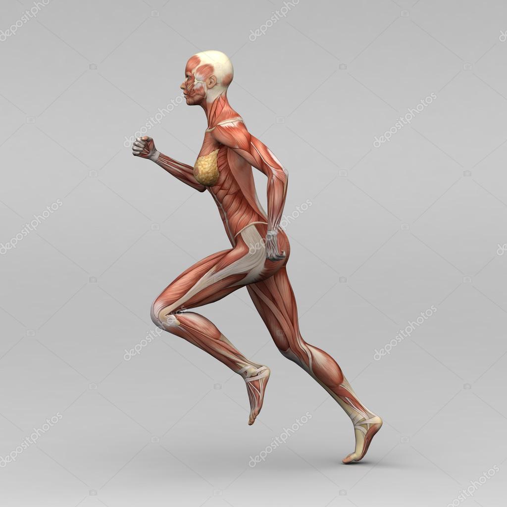 weibliche Anatomie und Muskeln — Stockfoto © newartgraphics #19873521