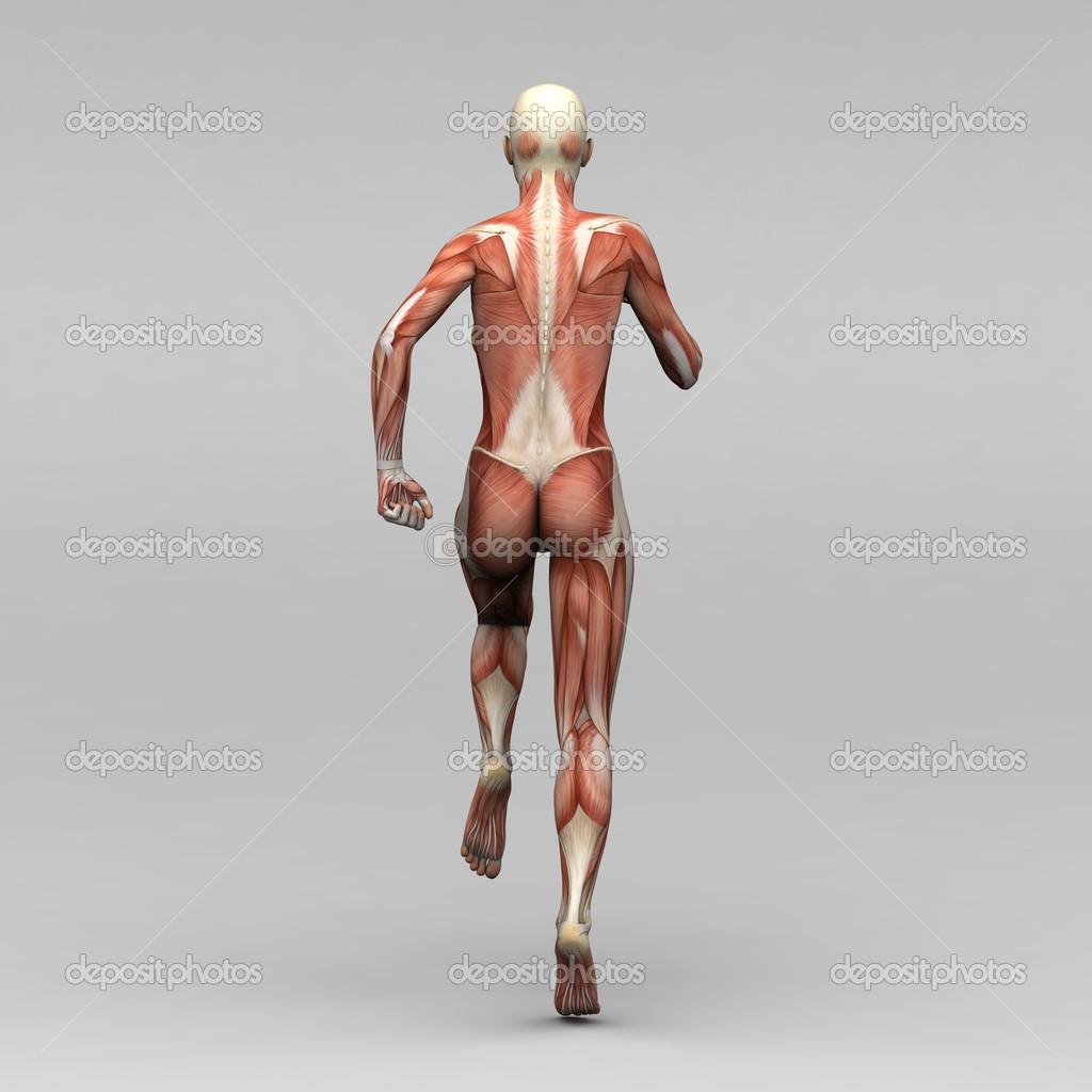 weibliche Anatomie und Muskeln — Stockfoto © newartgraphics #19873529