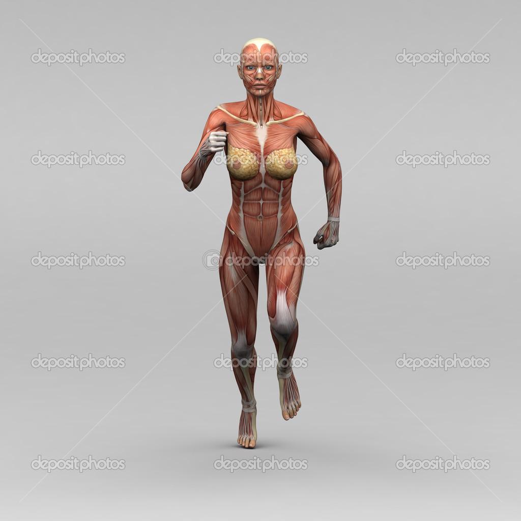 weibliche Anatomie und Muskeln — Stockfoto © newartgraphics #19873533
