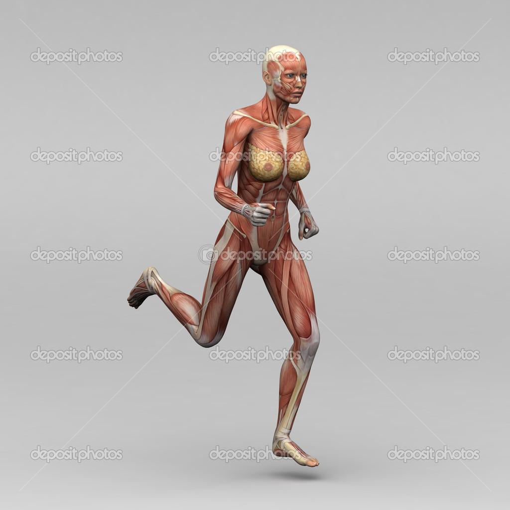 weibliche Anatomie und Muskeln — Stockfoto © newartgraphics #19873597