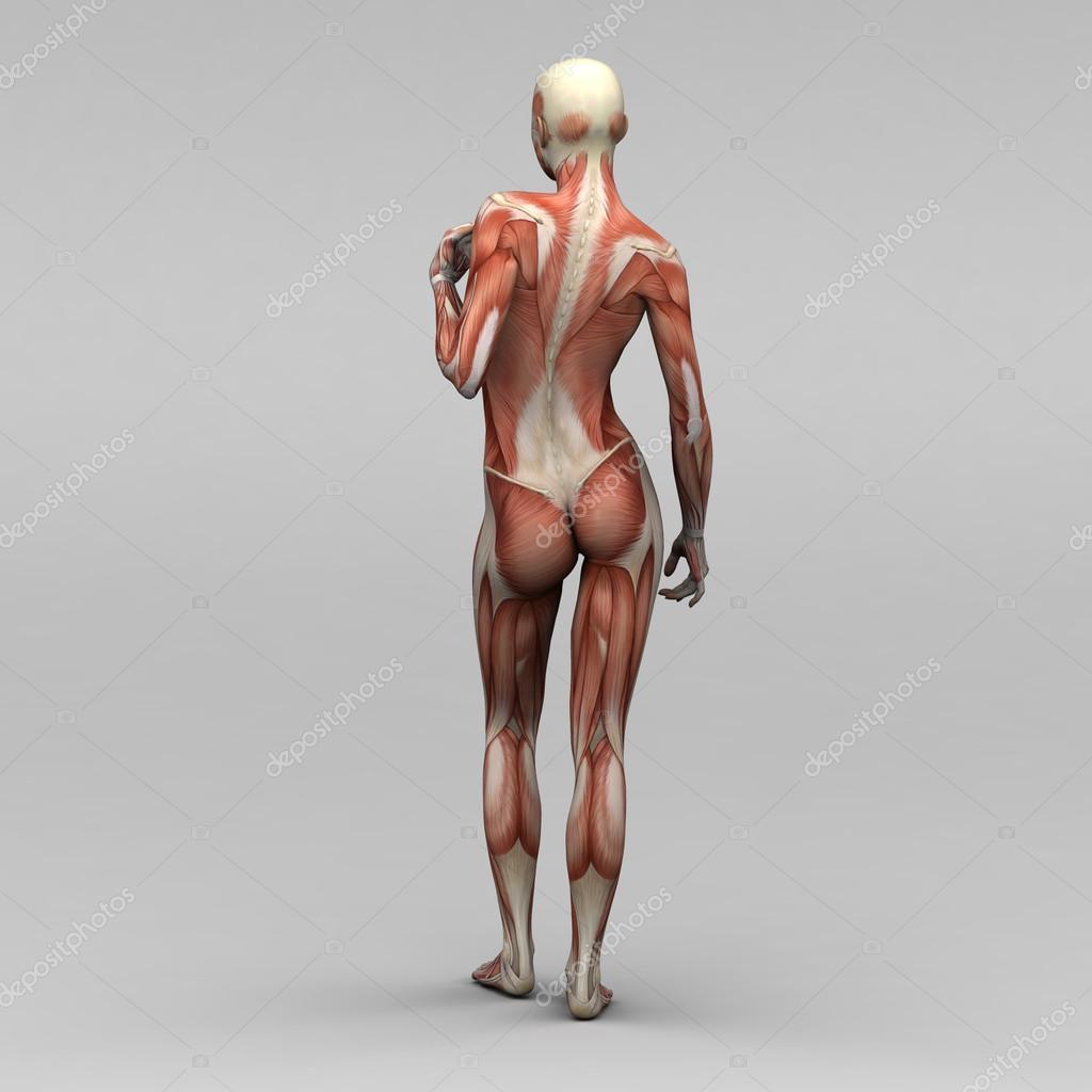 músculos y anatomía femenina — Foto de stock © newartgraphics #19873637