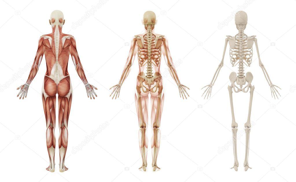 esqueleto y músculos humanos femeninos — Foto de stock ...