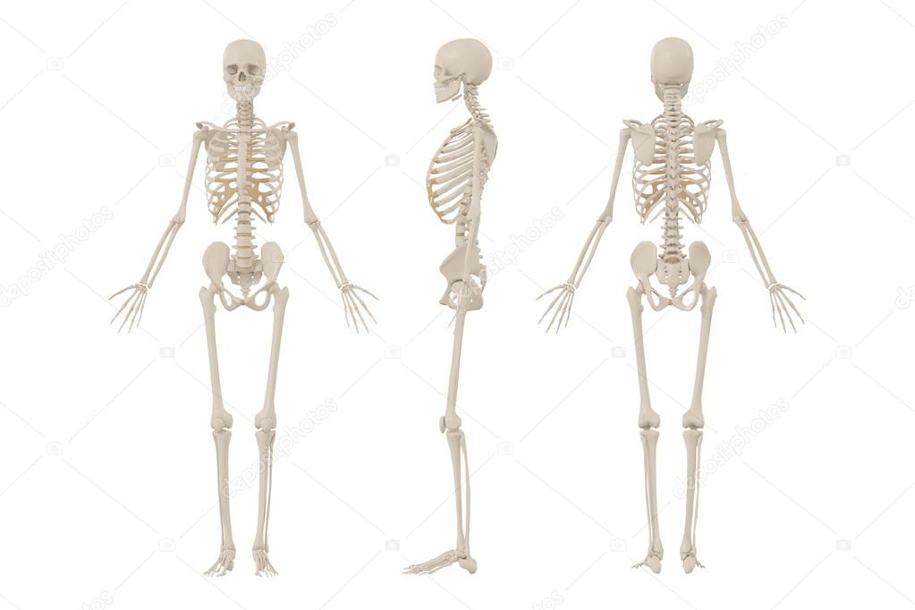 Human Skeleton Stock Photo Newartgraphics 19874555