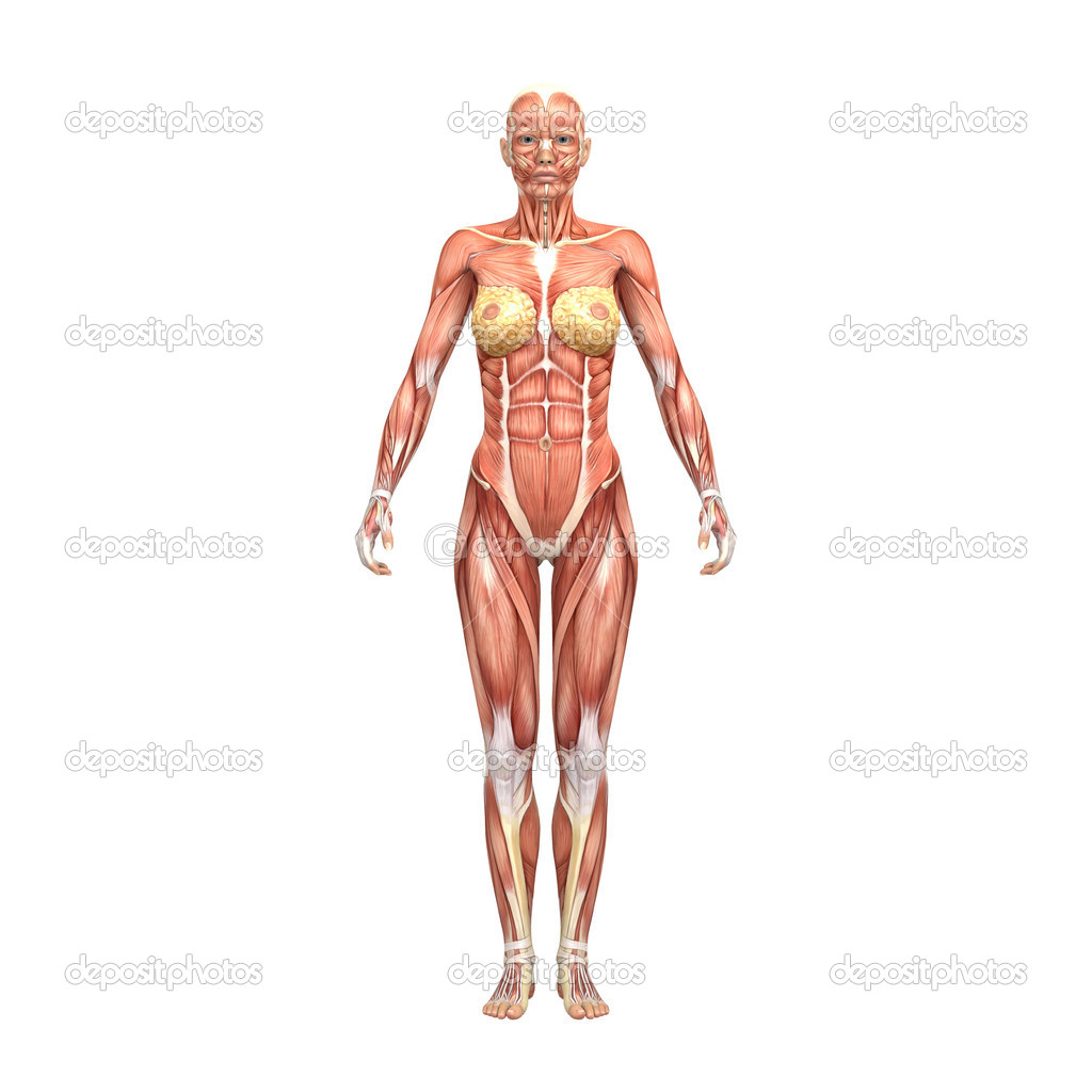 Female anatomy and muscles — Stock Photo © newartgraphics #19874637