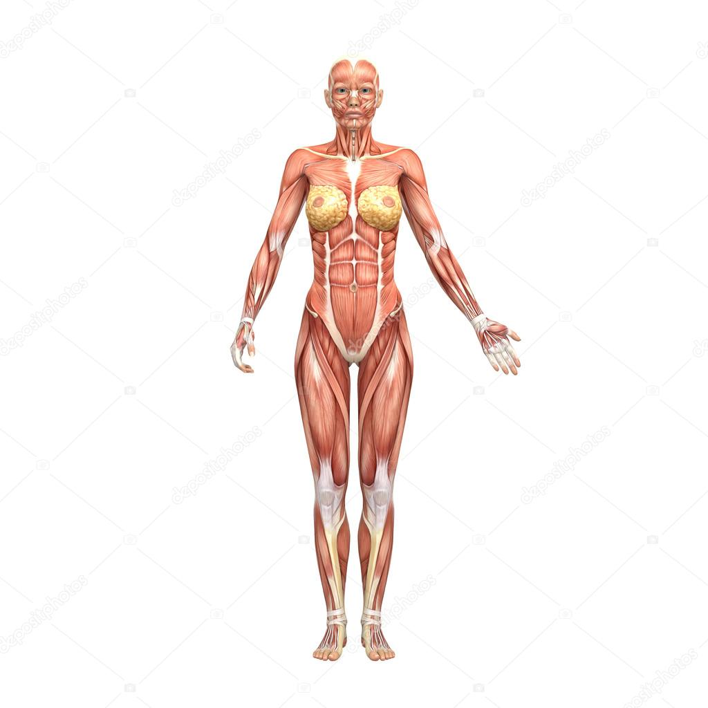 Female Anatomy And Muscles Stock Photo Newartgraphics 19874687