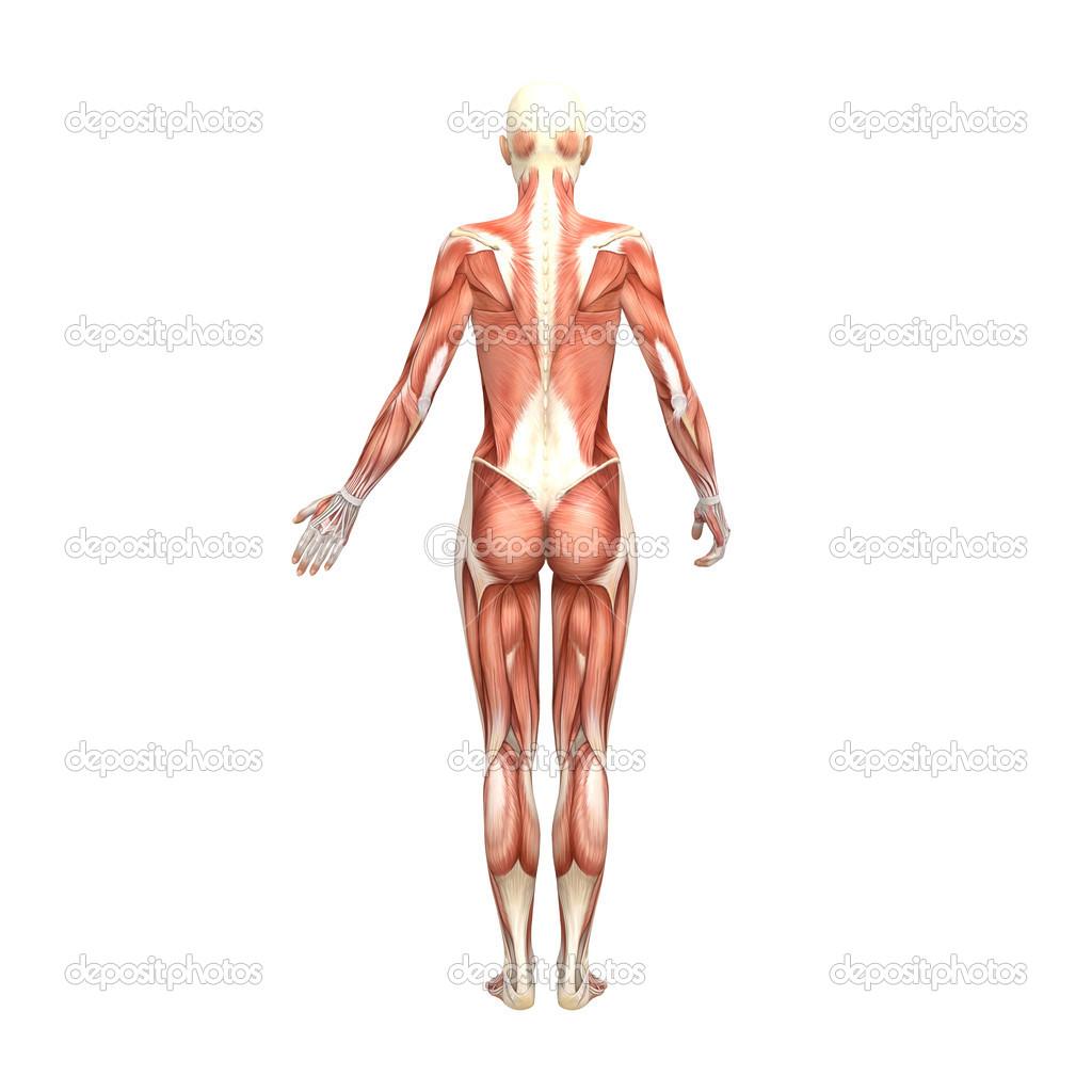weibliche Anatomie und Muskeln — Stockfoto © newartgraphics #19874691