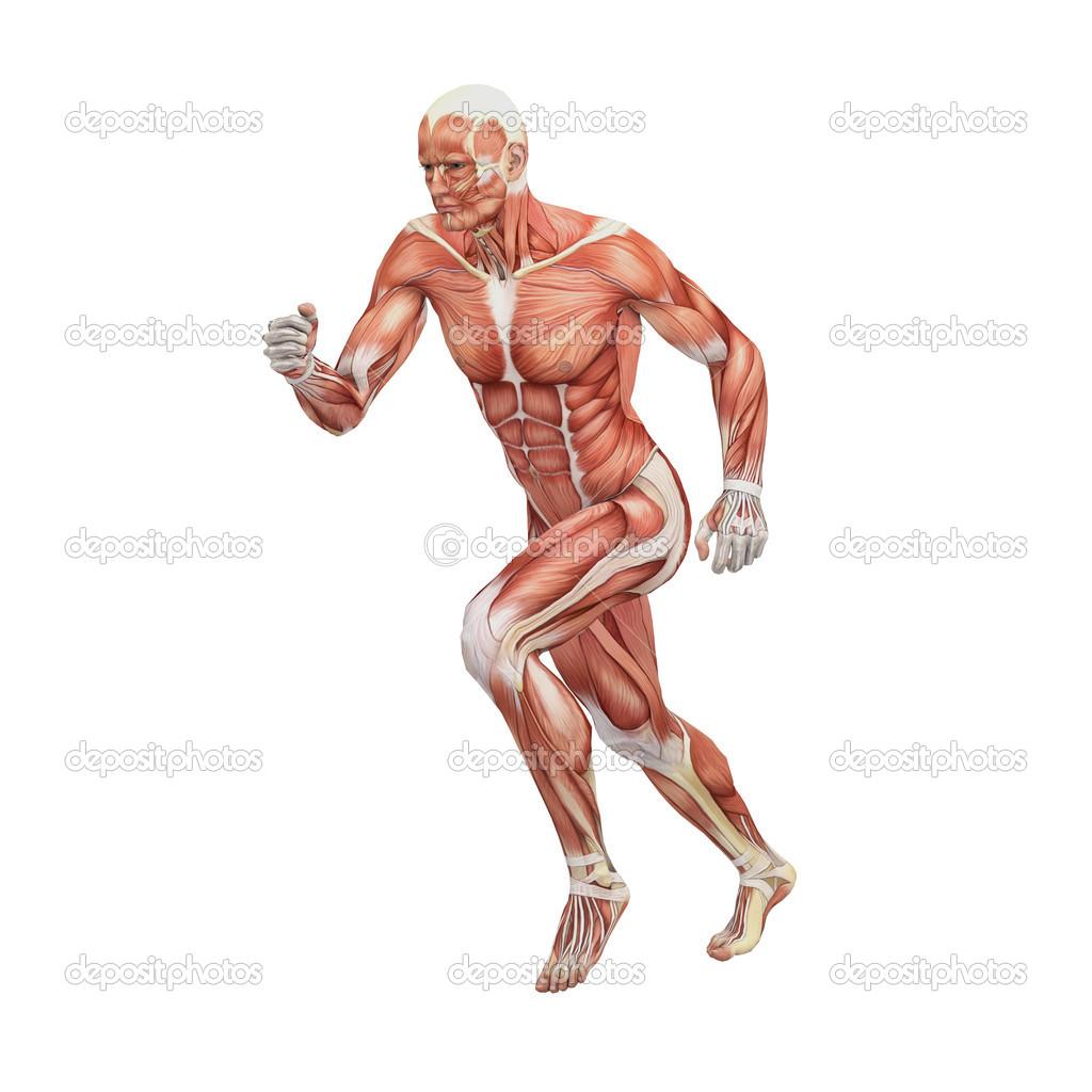Male anatomy and muscles — Stock Photo © newartgraphics #19875101