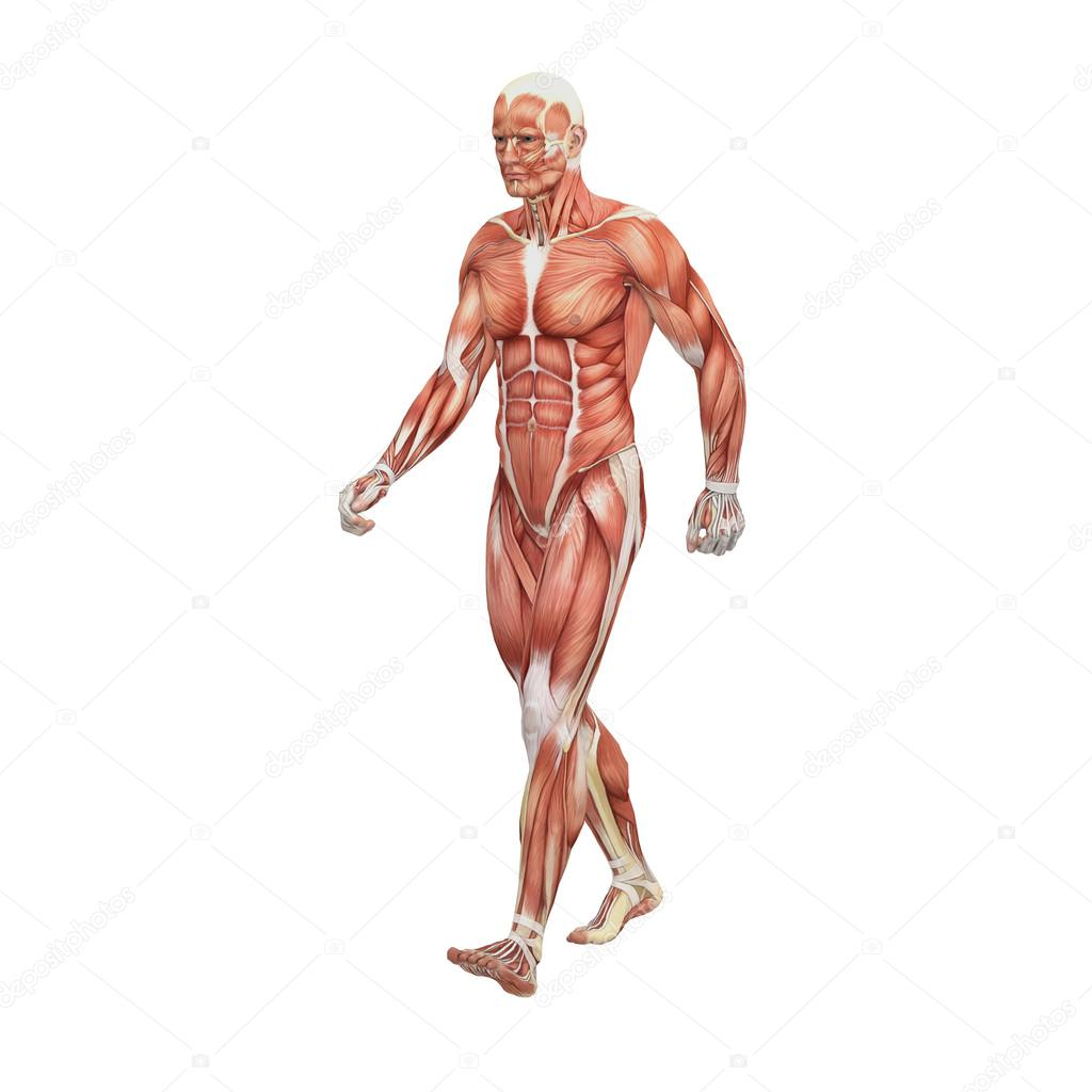 männlichen Anatomie und Muskeln — Stockfoto © newartgraphics #19875109