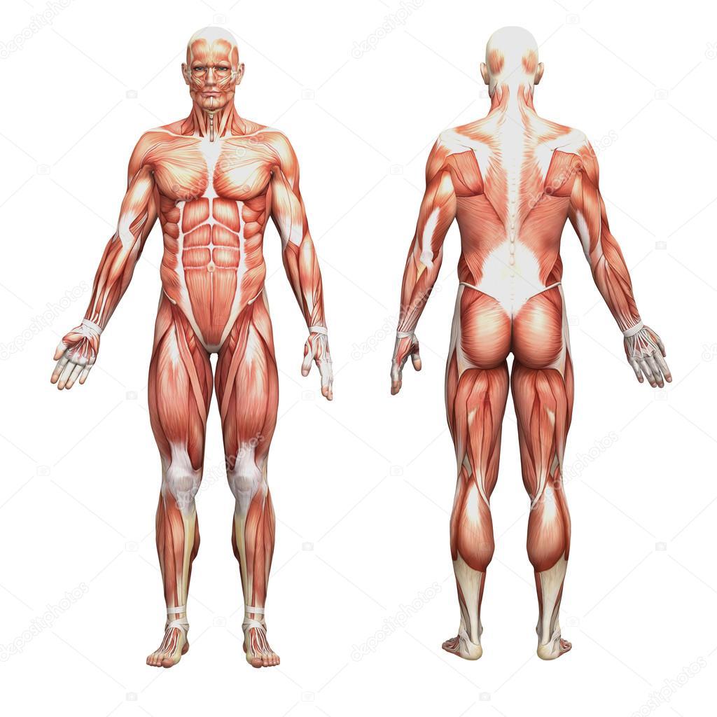 músculos y anatomía masculina — Fotos de Stock © newartgraphics ...