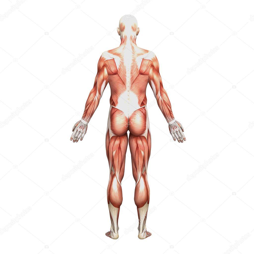 männlichen Anatomie und Muskeln — Stockfoto © newartgraphics #19875151