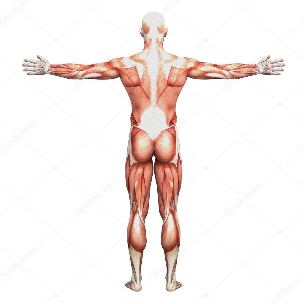 Male Anatomy And Muscles Stock Photo Newartgraphics 19875225