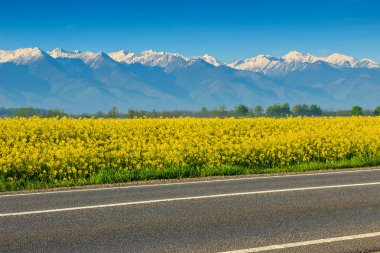 Canola field and high snowy mountains,Fagaras,Carpathians,Romania