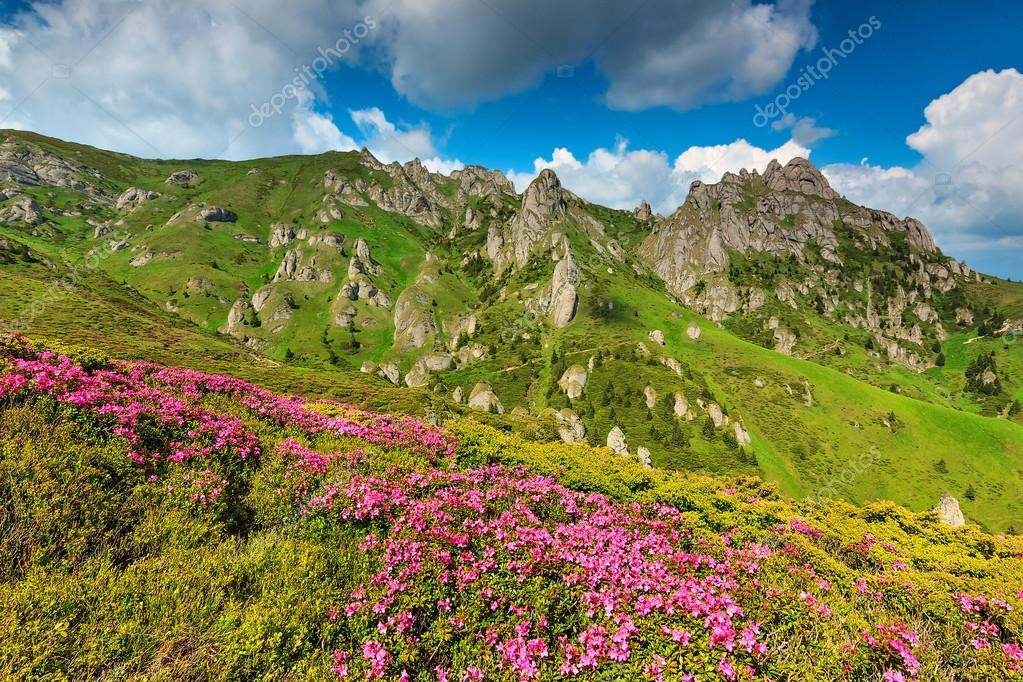Beautiful pink rhododendron flowers in the mountains,Ciucas,Carpathians,Romania