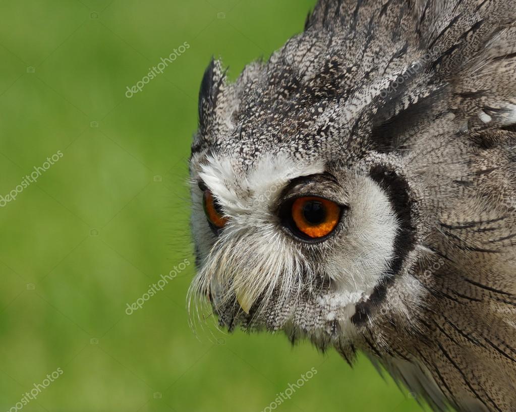 Northern White-faced Owl Ptilopsis leucotis