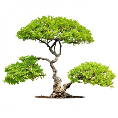 Bonsai tree isolated on white background stock vector