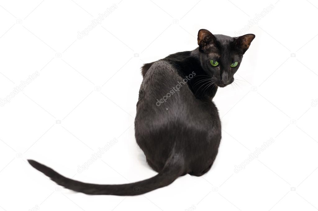 Figlarny Czarny Kot Orientalny Zdjęcie Stockowe Medeia 21368565