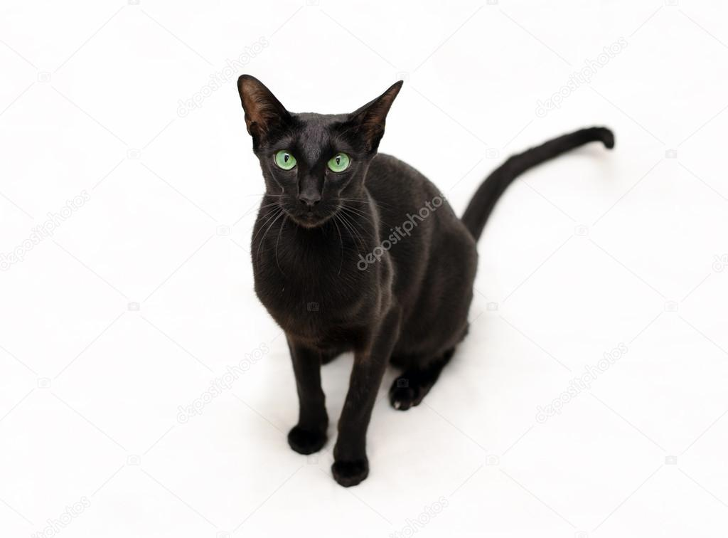 Figlarny Czarny Kot Orientalny Zdjęcie Stockowe Medeia 21368567