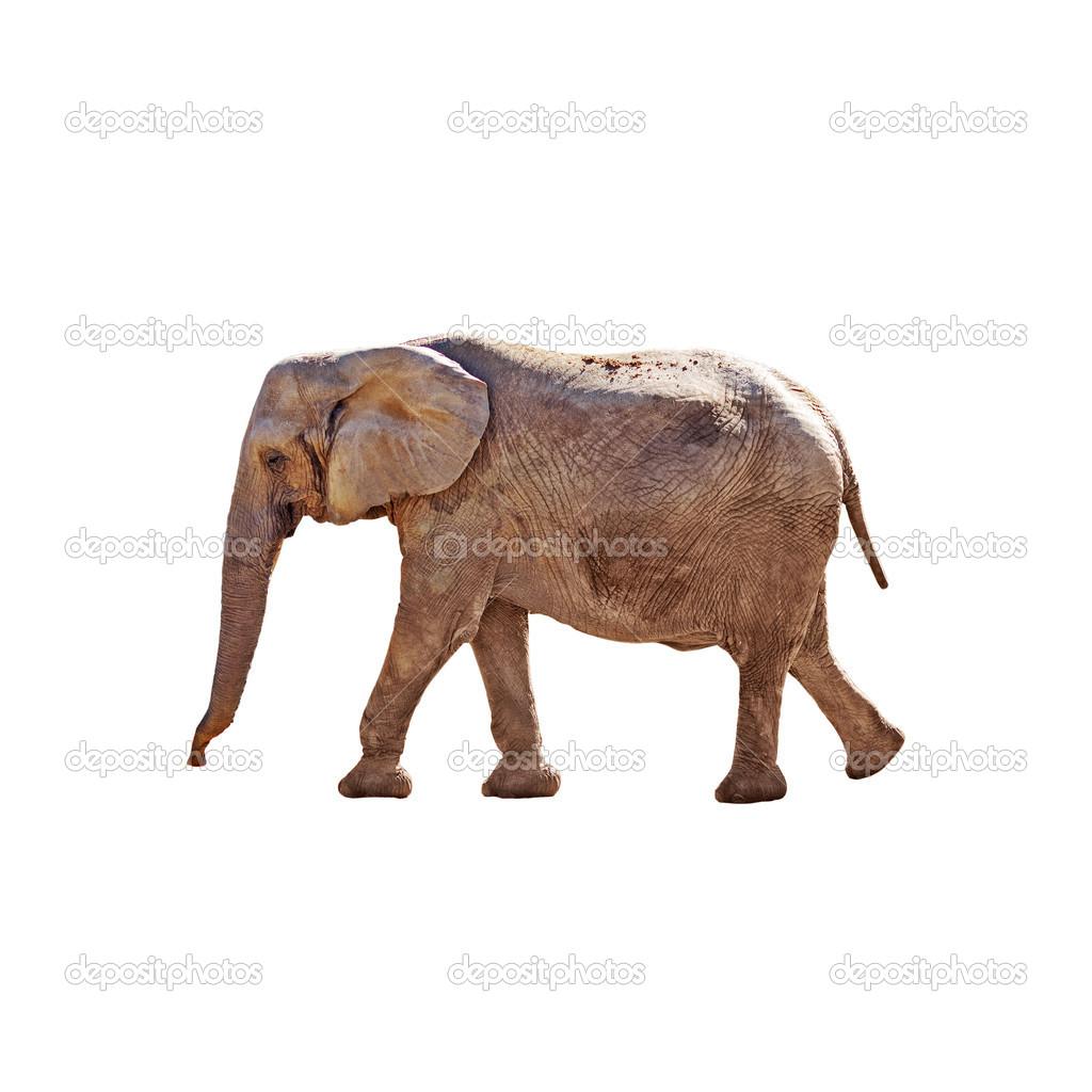 Elephant walking, isolated