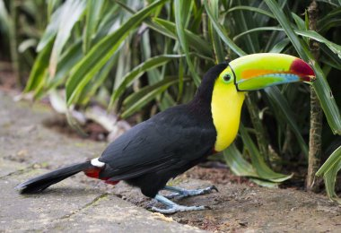 large Keel Billed Toucan on ground near tall green vegetation