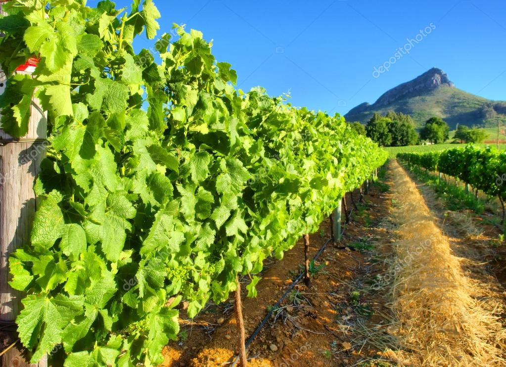 Vineyard against awesome mountains - close view