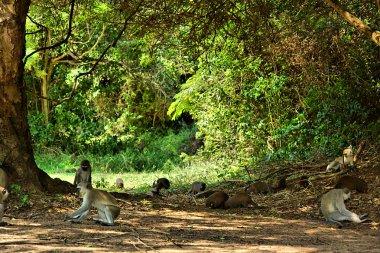 Velvet monkeys and mongooses