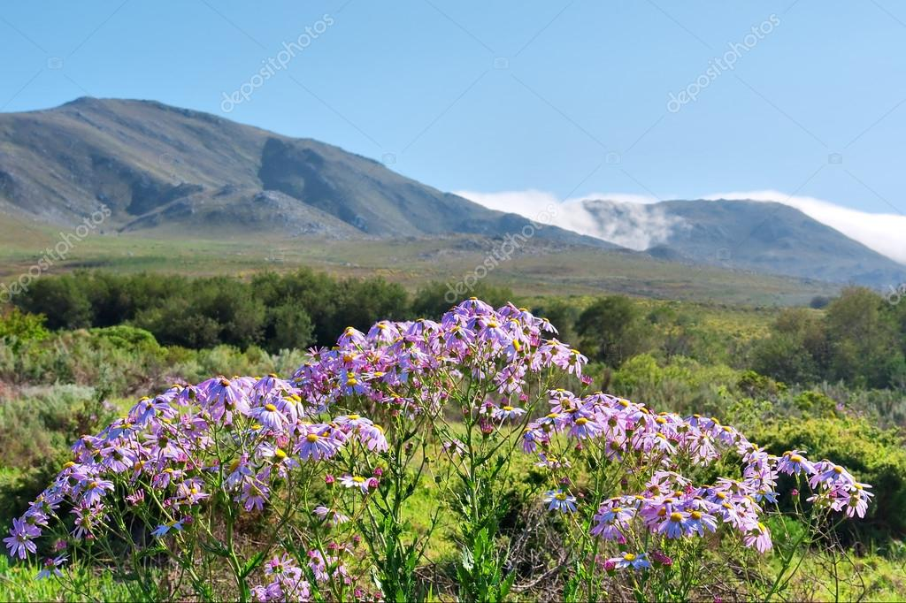 Bunch of wild pink flowers stock photo photosky 21729721 bunch of wild pink flowers and awesome mountain landscape as a background shot in salmonsdam nature reserve near hermanus stanford western cape mightylinksfo Image collections
