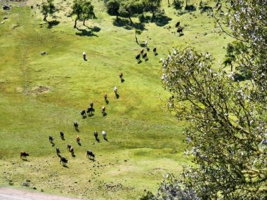Aerial view at herd of cows in mountains. Shot in Ethiopia. stock vector