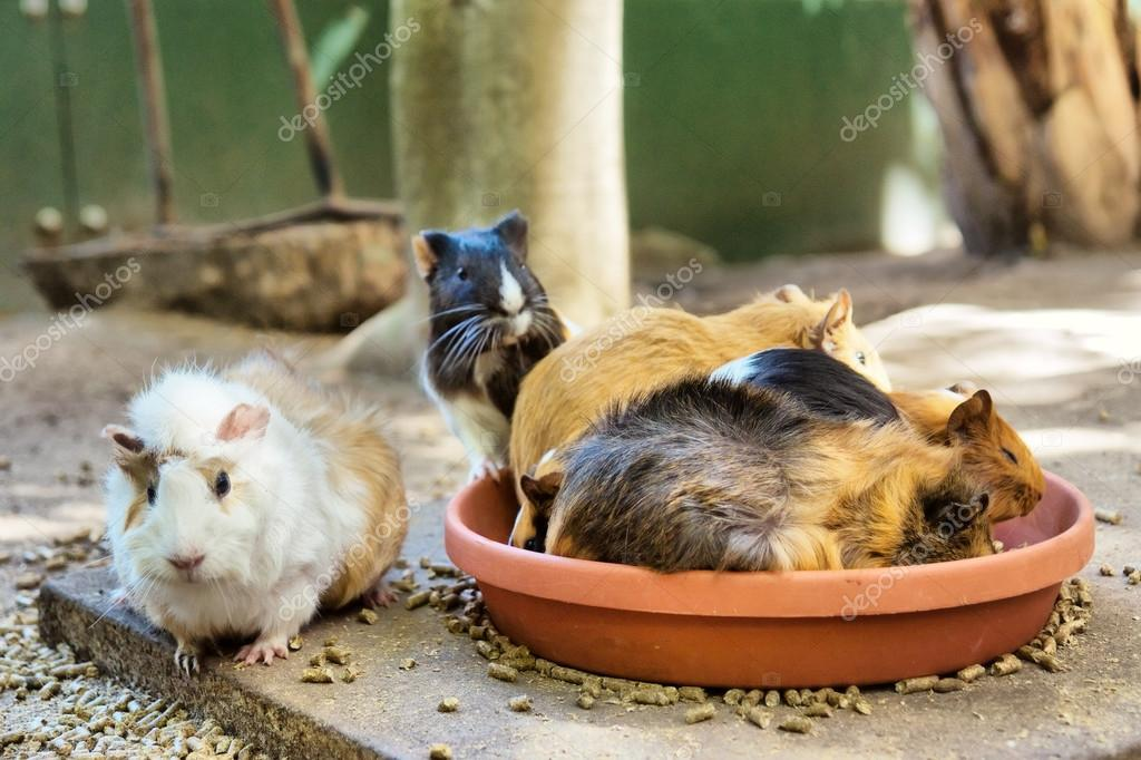 Group of guinea pigs in eating spot