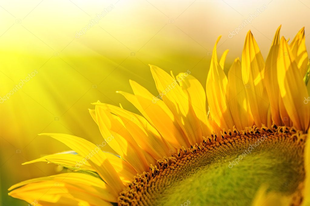 Golden sunflower in the field backlit by the rays of the setting