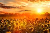 Nyári táj: szépség naplemente, napraforgó mező fölött