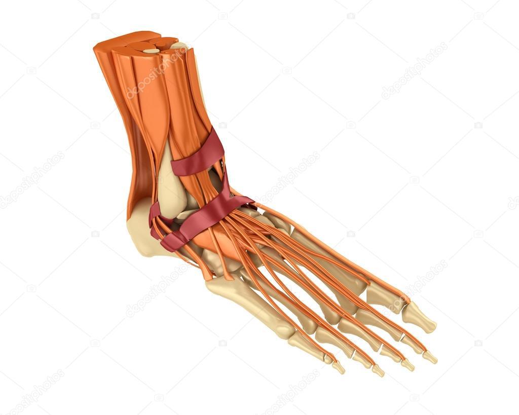 Skelett, Menschlicher Fuß, Muskel — Stockfoto © oleg3DD #49520515