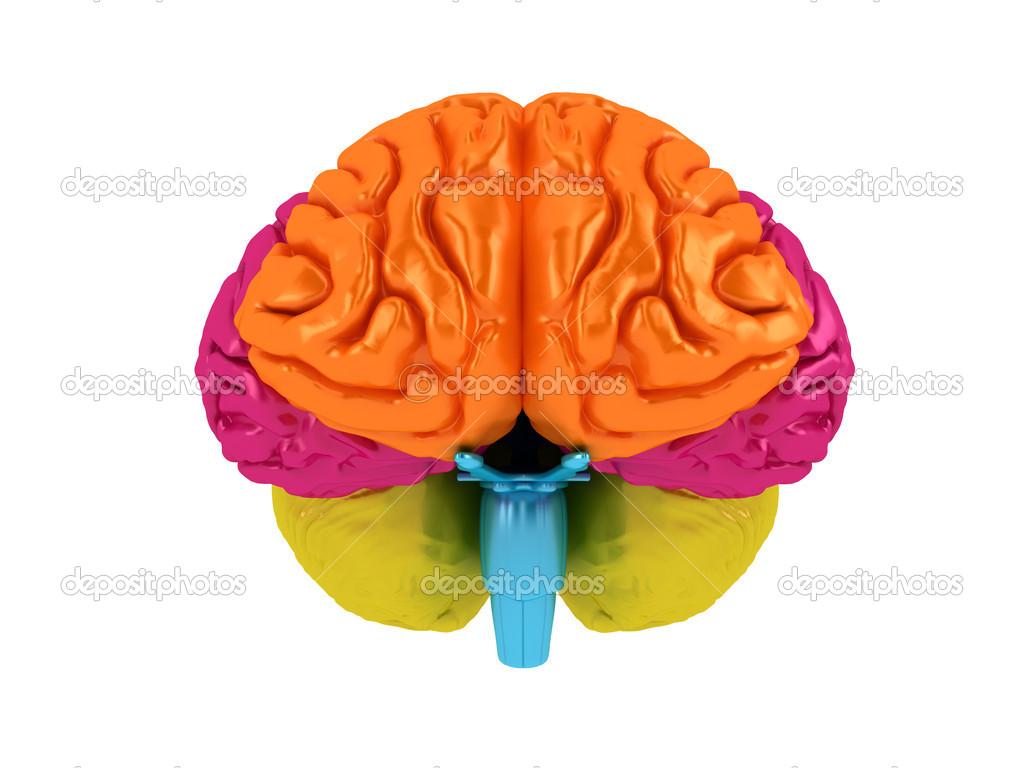 Hirnlappen in verschiedenen Farben. isoliert auf weiss — Stockfoto ...