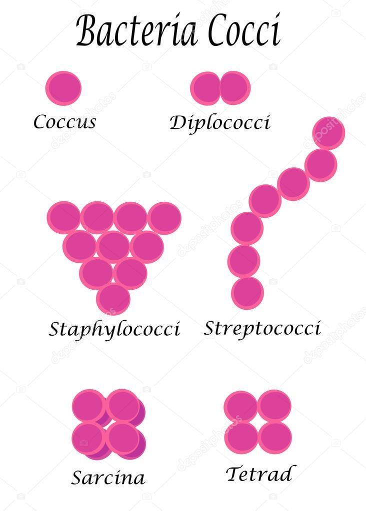 Bacteria cocci