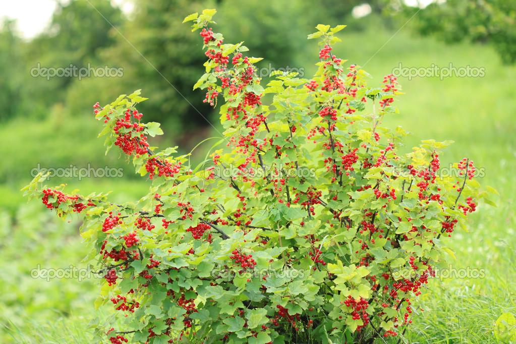 röda vinbär buske