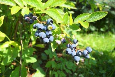 Highbush blueberry plant