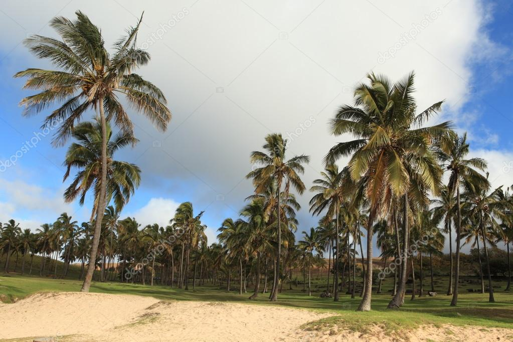Foresta Di Palme Di Isola Di Pasqua Foto Stock Hecke06 37284557