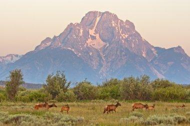 Elk at Sunrise under Mount Moran