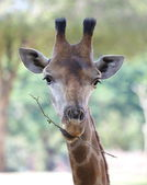 Fotografie Zblízka střílel žirafa