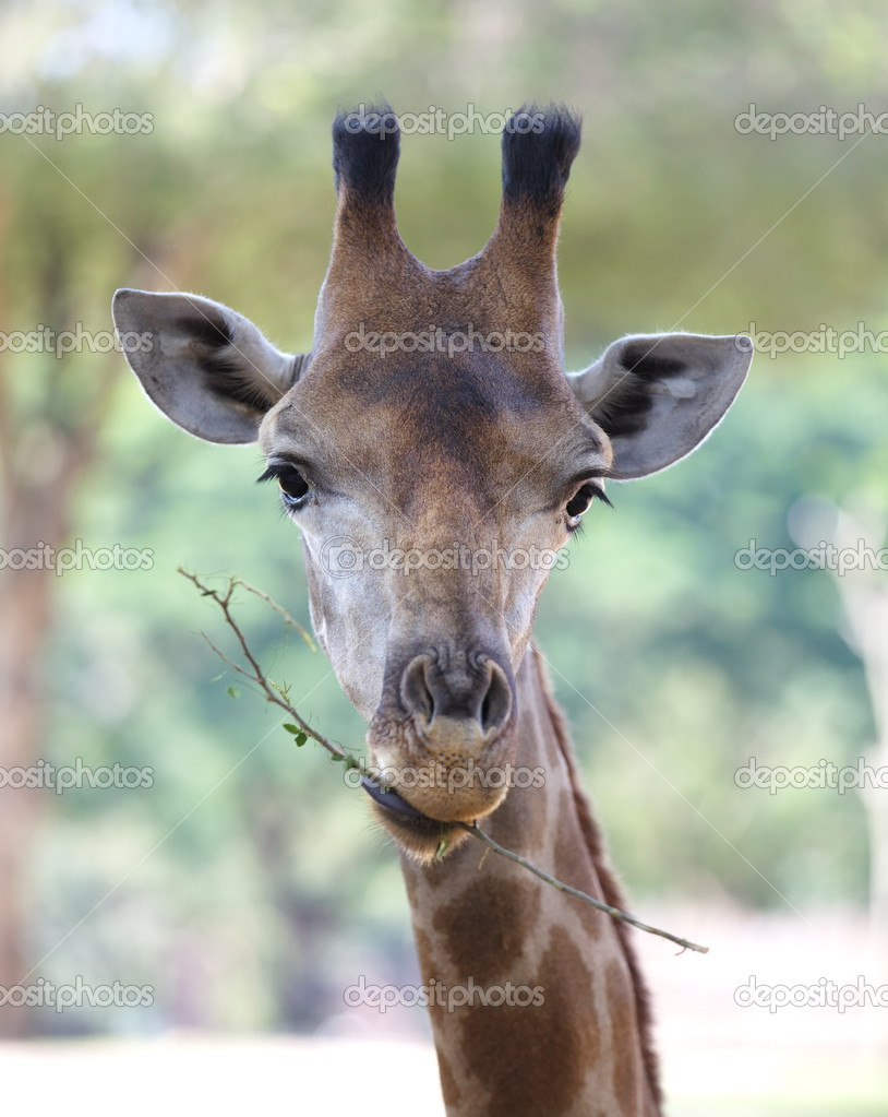 Close up shot of giraffe