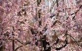 Kvetoucí třešeň sakura v Tokiu