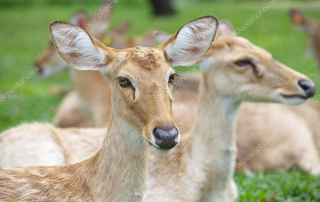 Eld s Deer in wild nature